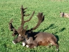 young-bull-antlers