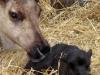 3rd-heifer-calf-tracy