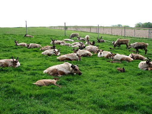contented-herd-resting