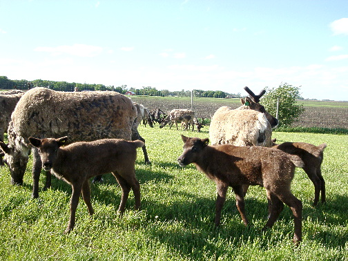 june-moms-and-calves-on-pasture