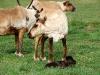 3-cows-1-calf