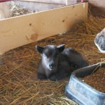 1st calf of 2007 calf crop