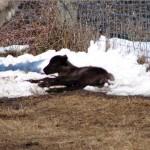 1st bull calf of 07 enjoys snow