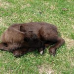 Calf curled up napping in May