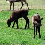 2 calf buddies