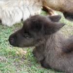 Calf profile shot