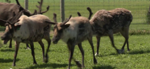 Image of reindeer from Farm Connections video