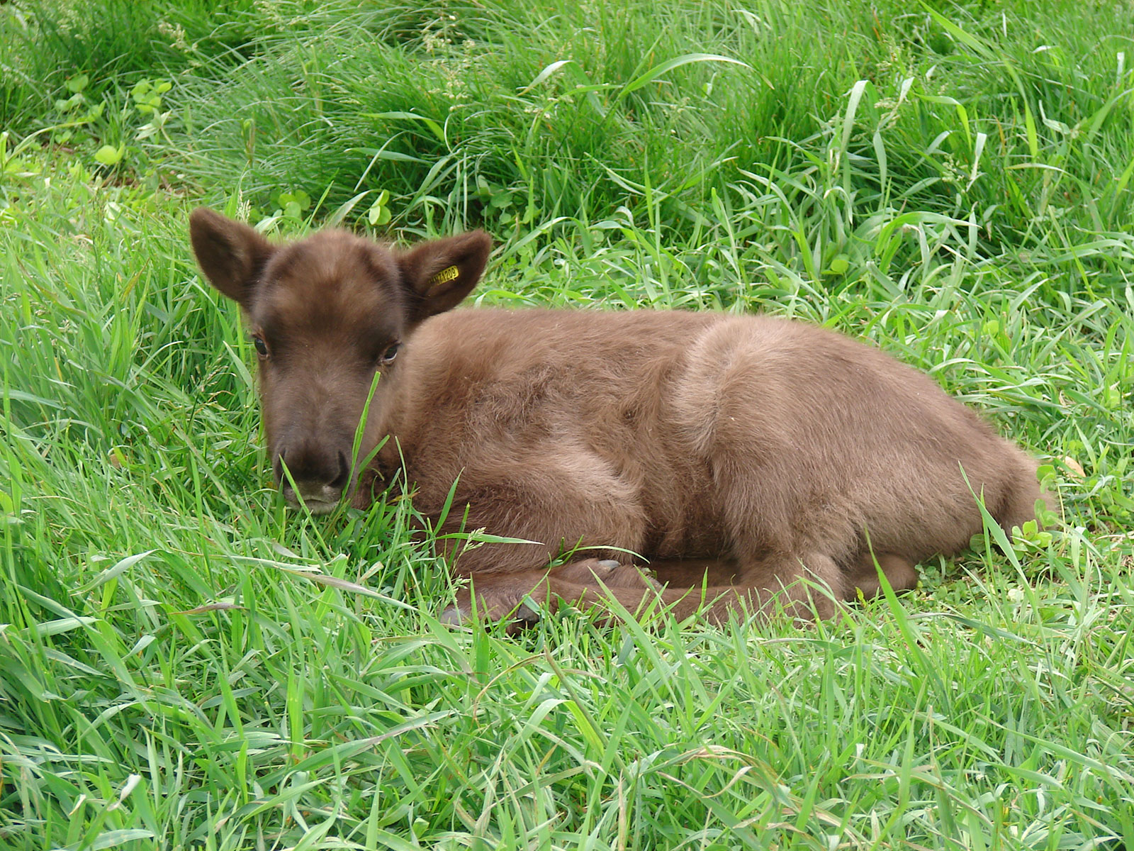 2 week old calf